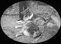 Two Collie Dogs Resting